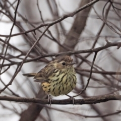 Pyrrholaemus sagittatus (Speckled Warbler) at Holt, ACT - 26 Feb 2021 by wombey