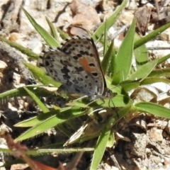 Lucia limbaria (Chequered Copper) at Paddys River, ACT - 26 Feb 2021 by JohnBundock