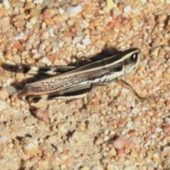 Macrotona australis (Common Macrotona Grasshopper) at Paddys River, ACT - 26 Feb 2021 by JohnBundock