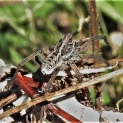 Tasmanicosa sp. (genus) (Unidentified Tasmanicosa wolf spider) at Bullen Range - 26 Feb 2021 by JohnBundock
