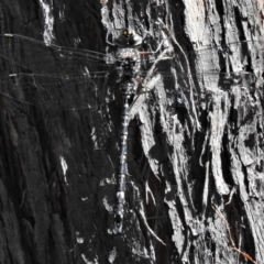 Austroaeschna multipunctata (TBC) at Bullen Range - 26 Feb 2021 by JohnBundock