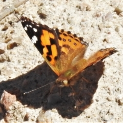 Vanessa kershawi (Australian Painted Lady) at Bullen Range - 26 Feb 2021 by JohnBundock