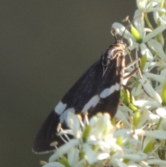 Nyctemera amicus (Senecio or Magpie moth) at Cotter Reserve - 20 Jan 2021 by michaelb