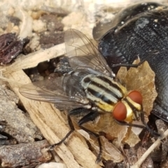 Sarcophagidae sp. (family) (Unidentified flesh fly) at Holt, ACT - 27 Feb 2021 by tpreston