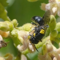 Hylaeus (Euprosopoides) rotundiceps (Hylaeine colletid bee) at ANBG - 26 Feb 2021 by WHall