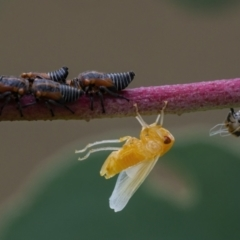 Unidentified Leafhopper & planthopper (Hemiptera, several families) (TBC) at Googong, NSW - 25 Feb 2021 by WHall