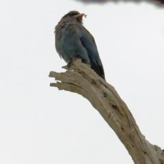 Eurystomus orientalis (Dollarbird) at Wodonga - 27 Feb 2021 by Kyliegw