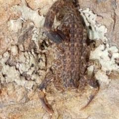 Lychas marmoreus (Marbled Scorpion) at Karabar, NSW - 27 Feb 2021 by tpreston