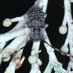 Ancita marginicollis (TBC) at Majura, ACT - 26 Feb 2021 by jbromilow50