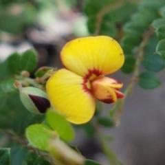 Bossiaea buxifolia (Bush Pea) at Karabar, NSW - 27 Feb 2021 by tpreston