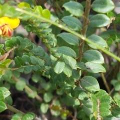 Bossiaea buxifolia at Karabar, NSW - 27 Feb 2021