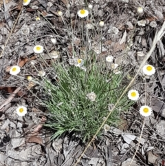 Leucochrysum albicans subsp. tricolor (Hoary Sunray) at Karabar, NSW - 27 Feb 2021 by tpreston