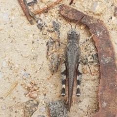 Pycnostictus seriatus (Common Bandwing) at Karabar, NSW - 27 Feb 2021 by tpreston