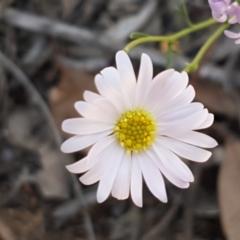 Brachyscome rigidula (Hairy cut-leaf daisy) at Karabar, NSW - 27 Feb 2021 by tpreston