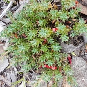 Astroloma humifusum at Karabar, NSW - 27 Feb 2021