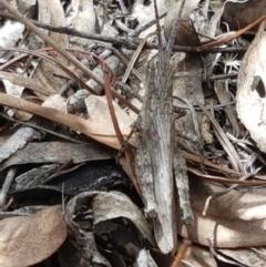 Coryphistes ruricola (Bark grasshopper) at Karabar, NSW - 27 Feb 2021 by tpreston