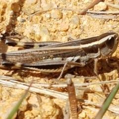 Macrotona australis (Common Macrotona Grasshopper) at Karabar, NSW - 27 Feb 2021 by tpreston