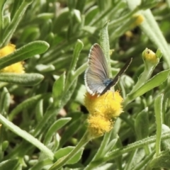 Zizina otis (Common Grass-blue) at Aranda, ACT - 26 Feb 2021 by KMcCue
