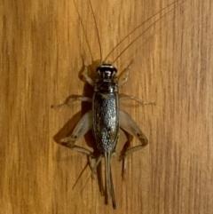 Lepidogryllus sp. (genus) (A cricket) at Murrumbateman, NSW - 27 Feb 2021 by SimoneC