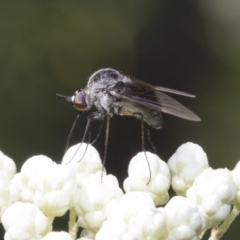 Geron nigralis (Slender bee fly) at ANBG - 11 Feb 2021 by AlisonMilton