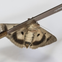 Eudesmeola lawsoni (Lawson's Night Moth) at Higgins, ACT - 7 Feb 2021 by AlisonMilton