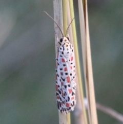 Utetheisa pulchelloides (Heliotrope Moth) at Hughes, ACT - 27 Feb 2021 by LisaH