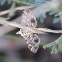 Nacoleia rhoeoalis (A Pyralid Moth) at Hughes Grassy Woodland - 27 Feb 2021 by LisaH