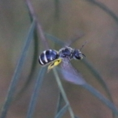Lasioglossum (Chilalictus) sp. (genus & subgenus) (Halictid bee) at Hughes Grassy Woodland - 27 Feb 2021 by LisaH