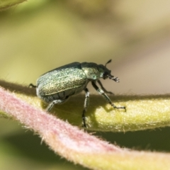 Diphucephala sp. (genus) (Green Scarab Beetle) at ANBG - 10 Nov 2020 by AlisonMilton