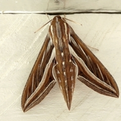 Hippotion celerio (Vine Hawk Moth) at Crooked Corner, NSW - 27 Feb 2021 by Milly