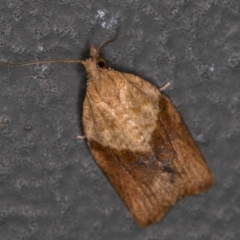 Epiphyas postvittana (Light Brown Apple Moth) at Melba, ACT - 16 Feb 2021 by Bron