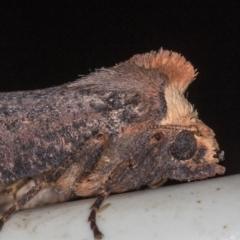 Fisera eribola (Orange-hooded Crest-moth) at Melba, ACT - 16 Feb 2021 by Bron
