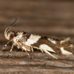 Macrobathra desmotoma ( A Cosmet moth) at Melba, ACT - 16 Feb 2021 by Bron