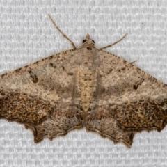 Dissomorphia australiaria (Dashed Geometrid) at Melba, ACT - 16 Feb 2021 by Bron