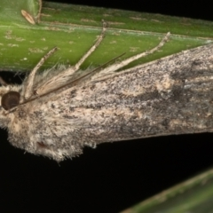 Dasygaster padockina (Tasmanian cutworm) at Melba, ACT - 16 Feb 2021 by Bron