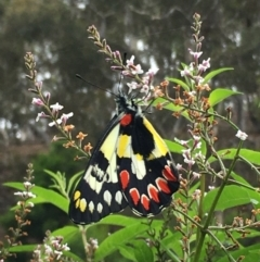 Delias aganippe (Spotted Jezebel) at Boro, NSW - 27 Feb 2021 by mcleana