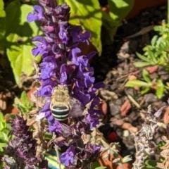 Amegilla (Notomegilla) chlorocyanea (Blue Banded Bee) at Albury - 28 Feb 2021 by ChrisAllen