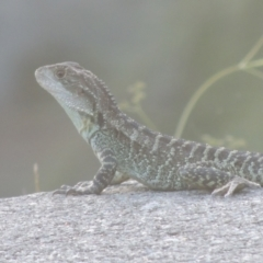 Intellagama lesueurii (Eastern Water Dragon) at Cotter Reserve - 20 Jan 2021 by michaelb