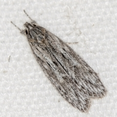 Leistarcha undescribed species (ANIC No 2) at Melba, ACT - 16 Feb 2021 by Bron