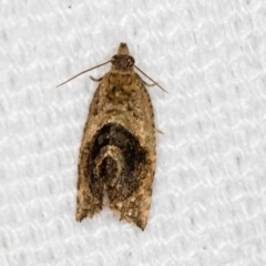 Acroceuthes metaxanthana (Dog-faced Bell Moth) at Melba, ACT - 16 Feb 2021 by Bron