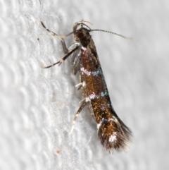 Stagmatophora argyrostrepta (A cosmet moth) at Melba, ACT - 16 Feb 2021 by Bron