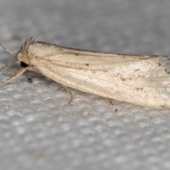 Heliothinae (subfamily) (Budworm) at Melba, ACT - 16 Feb 2021 by Bron