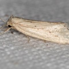 Heliothinae (subfamily) (Budworm) at Melba, ACT - 16 Feb 2021 by Bron