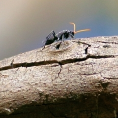 Pompilidae sp. (family) (Unidentified Spider wasp) at Wodonga - 27 Feb 2021 by Kyliegw