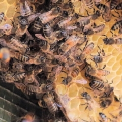 Apis mellifera (European Honey Bee) at Wodonga - 27 Feb 2021 by Kyliegw