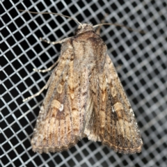Dasygaster padockina (Tasmanian cutworm) at O'Connor, ACT - 30 Jan 2021 by ibaird