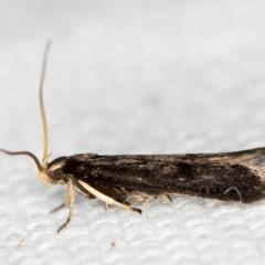 Lecithocera terrigena at Melba, ACT - 16 Feb 2021 by Bron