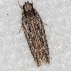 Ardozyga undescribed species nr amblopis (A Gelechioid moth) at Melba, ACT - 16 Feb 2021 by Bron