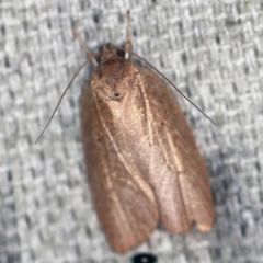 Oecophorinae (subfamily) (Unidentified Oecophorinae concealer moth) at O'Connor, ACT - 30 Jan 2021 by ibaird