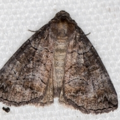 Dysbatus undescribed species (A Line-moth) at Melba, ACT - 16 Feb 2021 by Bron